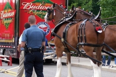 2006: The Budweiser Clydesdales being outfitted