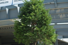 2009/07/01: Evergreen Tree