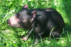 Coolah The Tasmanian Devil